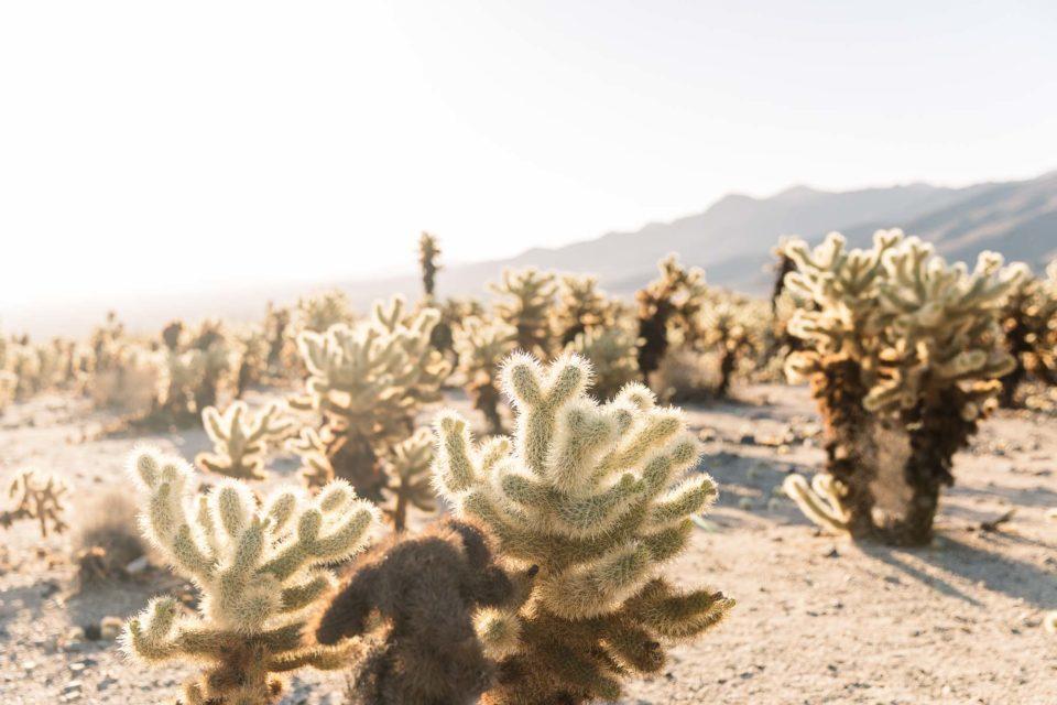 Jumping Cholla Cactus Garden